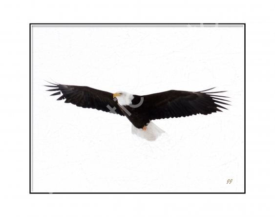 eagle-sketch-11x14-white.jpg